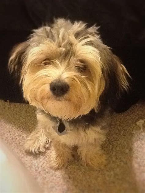 8 month puppy 8 month morkie puppy morkies