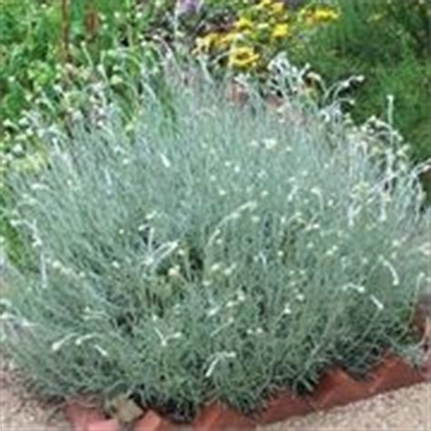 pianta di liquirizia in vaso elicriso helichrysum italicum aromatiche coltivare l