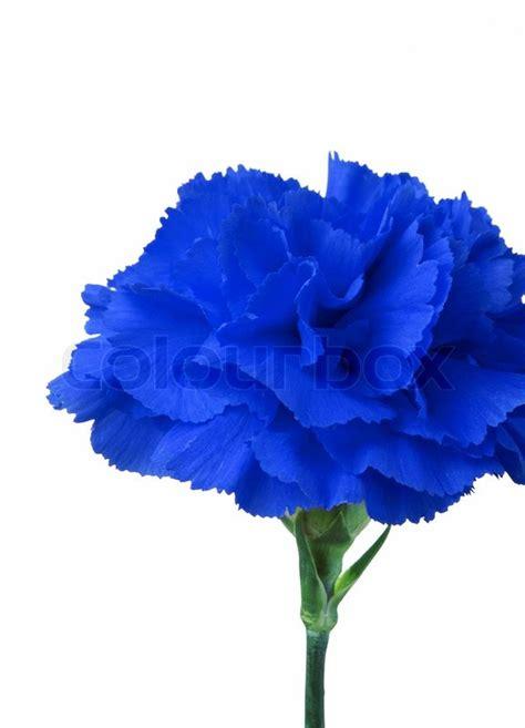 wallpaper blue flowers white background blaue blume auf wei 223 em hintergrund isoliert stock foto