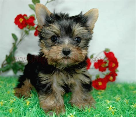 yorkie in a teacup puppylandla yorkies maltese breeders teacup yorkie teacup maltese pet shop