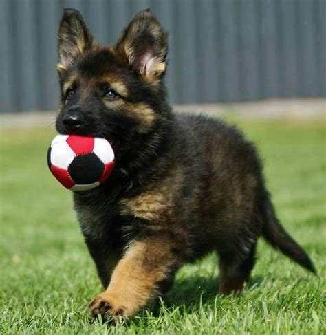 German shepherd puppy puppy toy playing joy pictures to pin on