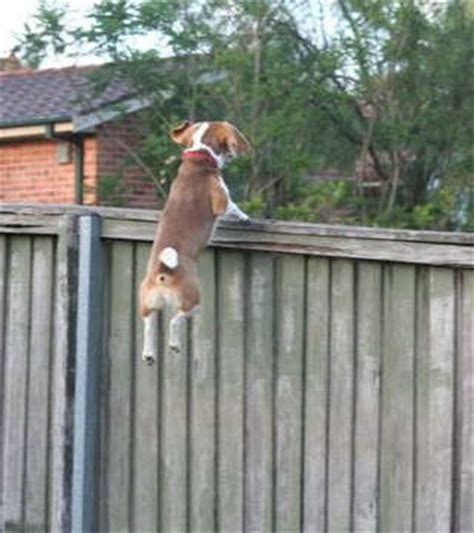 how to keep dog from jumping fence we have a privacy fence do we need an invisible or