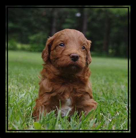 mini goldendoodle puppies for sale in florida mini goldendoodles for sale in fl breeds picture