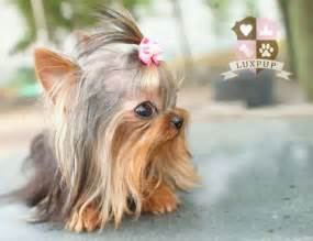hair cut for tea cup yorkies yorkie terrier female haircut hairstyle gallery