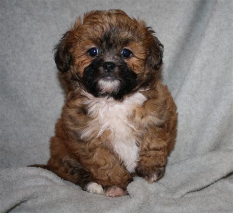 shorkie puppies for sale in nc index www basskennels
