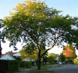 honey locust local enhancement appreciation of forests