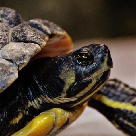 alimentazione tartarughe acqua dolce cosa mangiano le tartarughe d acqua dolce