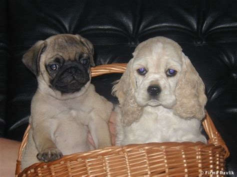 pug cocker spaniel fa pavl 237 k export of puppies and kittens