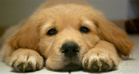 how are puppies how to a puppy their name totally goldens
