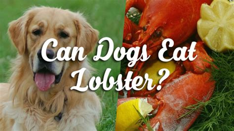 can dogs eat lobster can dogs eat lobster pet consider