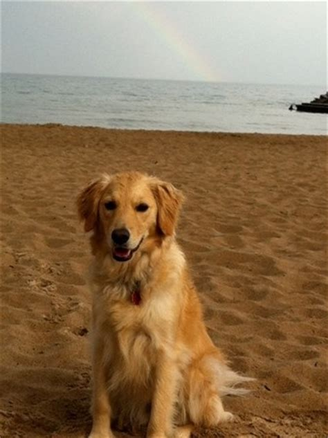 comfort golden retriever breeders comfort retriever designer dogs pinterest