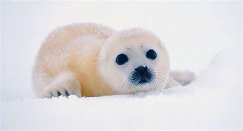 imagenes de focas blancas victoria natural productos de la caza de foca prohibidos