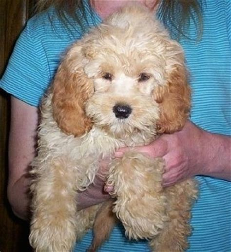 mini doodle rescue goldendoodle breed information and pictures