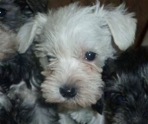 miniature schnauzer rescue puppies for sale bred miniature schnauzer puppies for sale adoption from cicero illinois cook