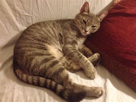 Lost gray/tan/black tabby cat, Reading ? Kitty Connection