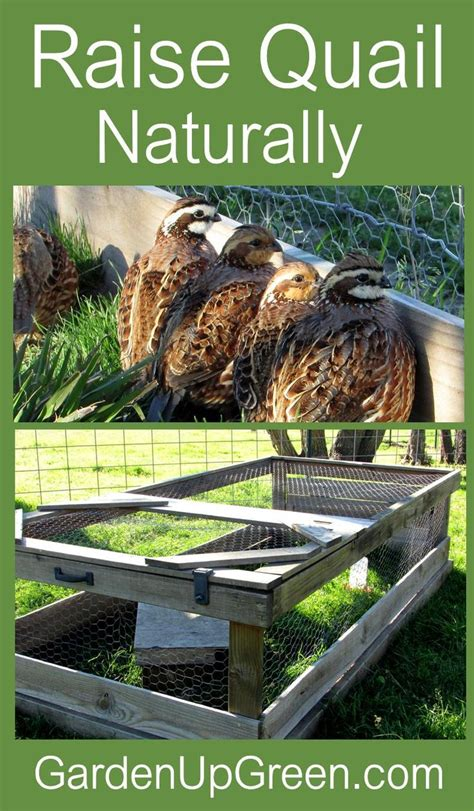 raising quail in your backyard best 25 raising quail ideas on pinterest quails quail