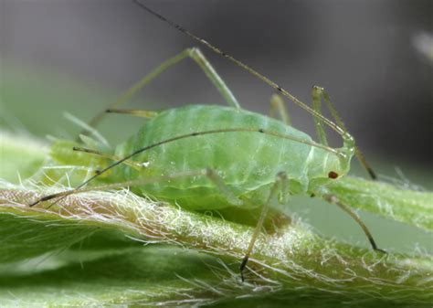 pea aphid soybean insects