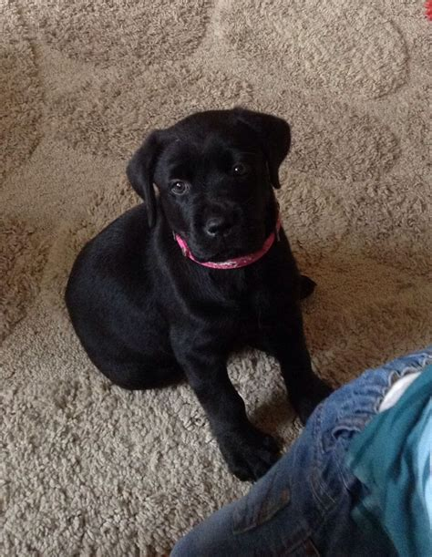labrottie puppies for sale gorgeous labrottie pup for sale sheffield south pets4homes