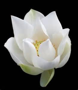 Lotus Literary Agency Biblical Flowers 6 Writerscafe Org The Writing