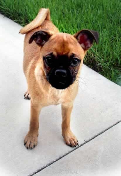 fl pug rescue 1000 images about chihuahua pug chugs on adoption weenie dogs and