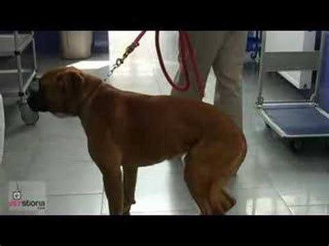 torn acl in dogs 86 best images about acl tear in dogs on for dogs acl surgery