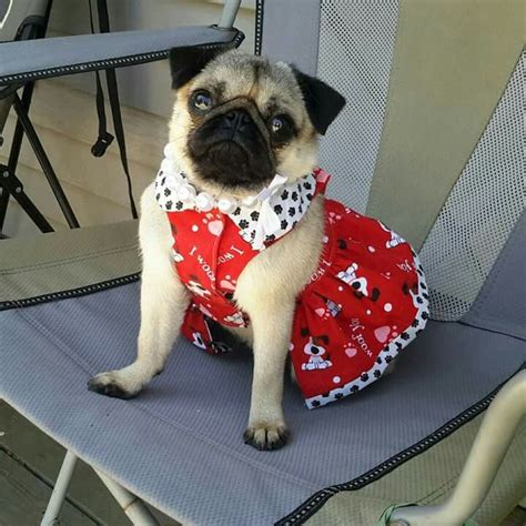 pug dress 1000 images about animal pugs on