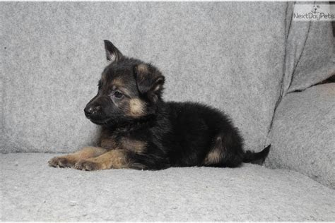 german shepherd puppies for sale in arkansas cheyenne german shepherd puppy for sale near rock arkansas e34b4e36 12b1