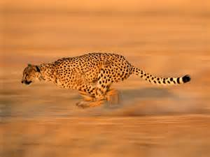 How Fast Does A Jaguar Run Cheetah Facts Cheetah Run Breeds Picture