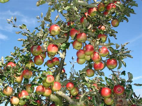apple tree yours sin sear ly too long in this place