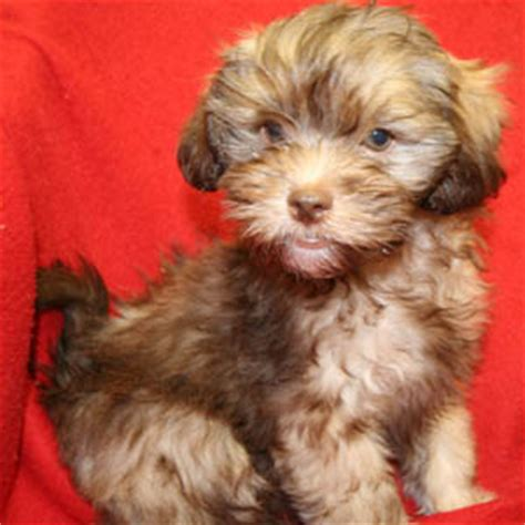 havanese poodle puppies for sale havanese puppies for sale on island
