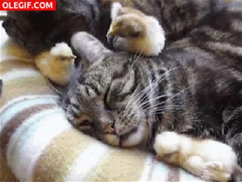 imagenes gif orejas gif pollito picoteando la oreja del gato gif 2080