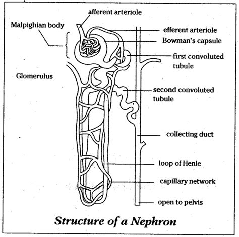 diagram of nephron describe the structure of nephron with the help of diagram