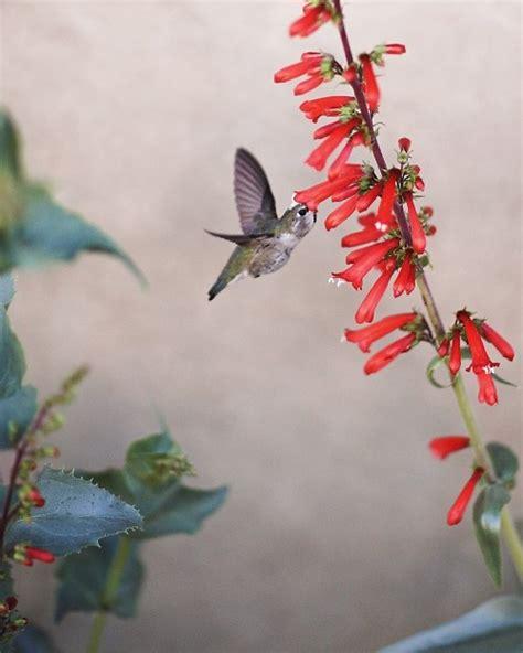 friendly plants hummingbird friendly plants