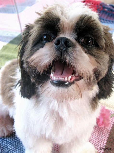 we shih tzu not 577 best sayings shih tzu s images on doggies pets and animales
