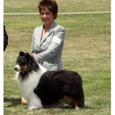 sheltie puppies for sale in nc shetland sheepdog sheltie breeders in carolina freedoglistings