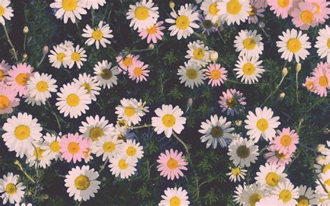 daisy wallpaper pinterest daisy wallpaper backgrounds wallpaper cave