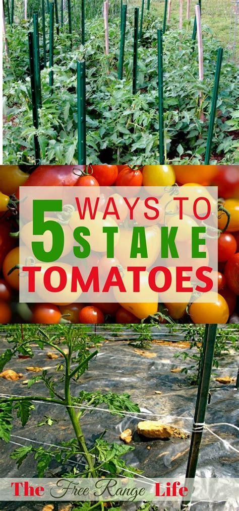 ways  stake  tomatoes tomato garden