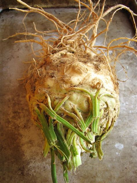ediblr raw roots ten yes 10 things to do with celery root sixburnersue