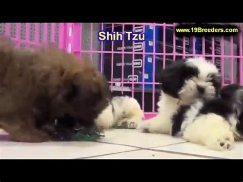 puppies for sale in albany ga shih tzu puppies for sale in albany county ga alpharetta marietta