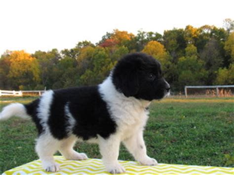 newfoundland puppies ohio view ad newfoundland puppy for sale ohio millersburg usa