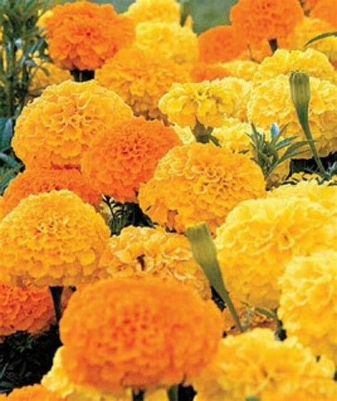 marigolds they keep away mosquitos and snakes my