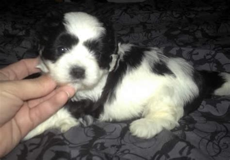 english boodle english bulldog poodle mix info  pictures