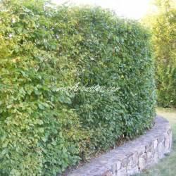 vente arbustes en racines nues