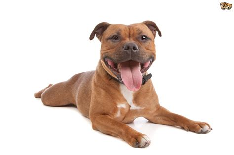 staffy puppy staffordshire bull terrier breed information buying advice photos and facts