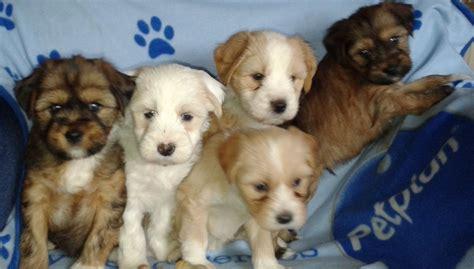 tibetan terrier puppies for adoption tibetan terrier puppies for sale lincoln lincolnshire pets4homes