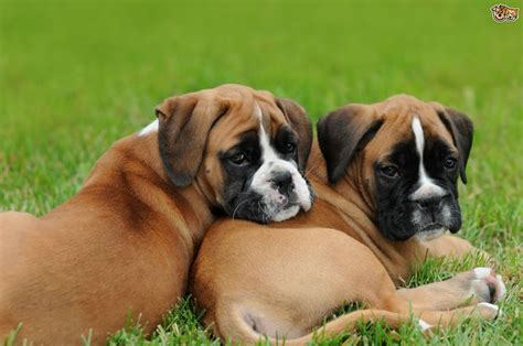 buying puppies how to buy a boxer puppy from a breeder pets4homes