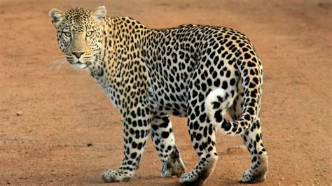 what s the difference between a jaguar and what s the difference between cheetah leopard and jaguar