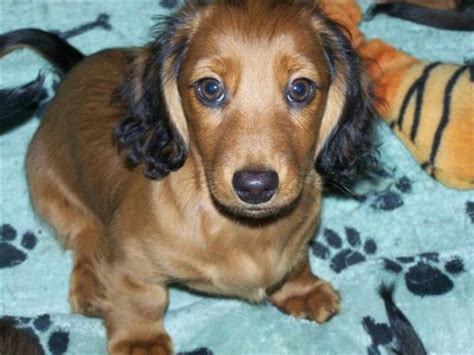 haired miniature dachshund puppies puppy dogs haired miniature dachshund puppies