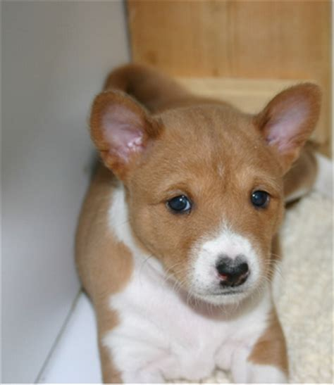 basenji puppy cost basenji puppy picture png 1 comment