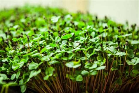 Microgreens Benih Basil Sprout Micro Green Basil Kemangi Import grow the microgreens mad scientist steamy kitchen recipes
